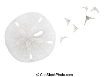 "Seashell isolated on white background - Sand dollar with ""..."