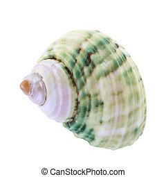 seashell isolated on white background.