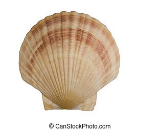 seashell, isolato