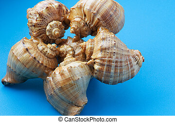 seashell on blue background