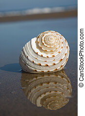 Seashell on the Beach - Nice pale seashell lying on a beach ...