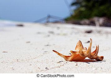 Seashell on the Shore, Maratua Island, Indonesia