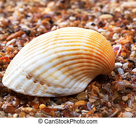 Seashell on wet sand