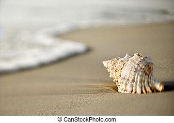 seashell, plaża.
