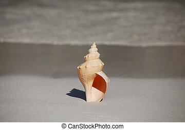 seashell, plage