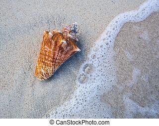 seashell, praia