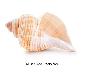 seashell, primo piano, bianco, isolato