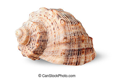 Seashell rapana side view rotated