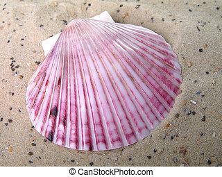 seashell, sabbia