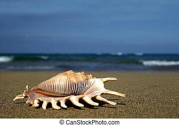 seashell, ufer