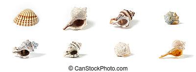 seashells, huit