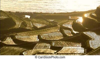 Seashore rice terraces - Close up seashore terraced rice...