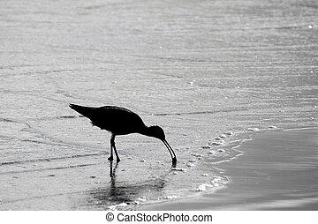 seashore, sandpiper