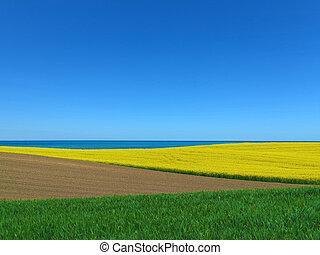 seaside blooming canola field landscape