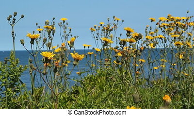 Seaside flowers. - Yellow flowers at the seashore. Shallow...
