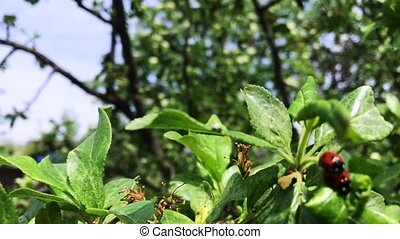 season., branche, accouplement, coccinelle, vert