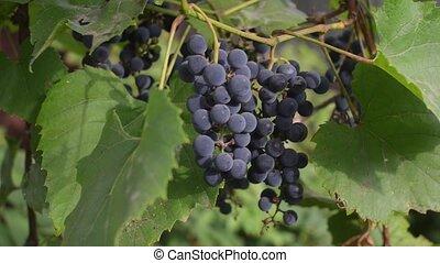 season., mûre, harvest., foyer, automne, vignobles, sélectif, coucher soleil, raisins, automne