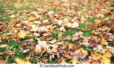fallen autumn maple leaves on meadow