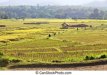 Season rice harvest.