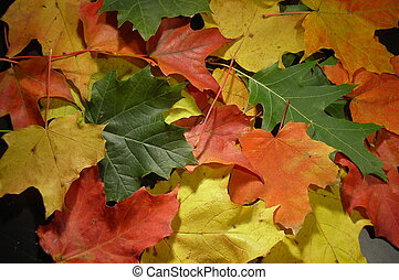 Season transition - green, yellow, orange and red maple...