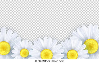 Seasonal background. Chamomile flowers on a transparent background. Template for your design. Vector illustration