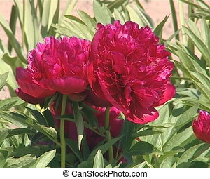 Seasonal flower beauty. Red peony