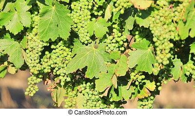 Seasonal vineyard background - Picturesque seasonal...