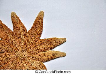 seastar - Eleven arm seastar, Stichaster australis, endemic...
