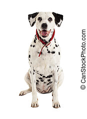 seated dalmatian  in front of a white background