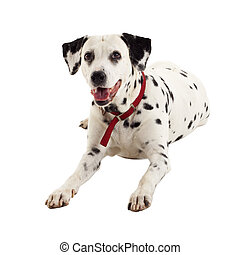 seated dalmatian, looking to something, over white ...