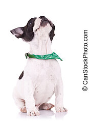 seated French bulldog  looking up over white