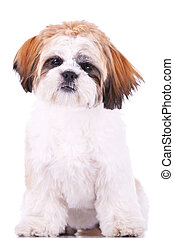 seated little shih tzu puppy, looking at the camera on white...