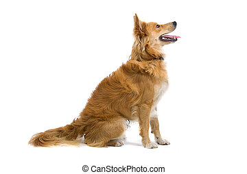 mixed breed dog - seated mixed breed dog isolated on a white...