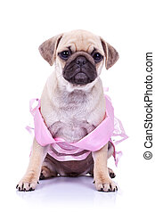 seated pug puppy dog wearing a pink dress on white ...