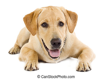 seated Puppy Labrador retriever cream in front of white...
