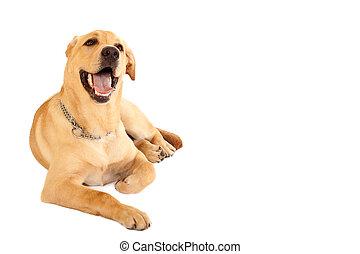 seated Puppy Labrador retriever cream in front of white...