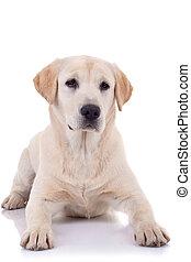 seated Puppy Labrador