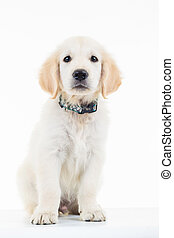 seated sad golden labrador retriever puppy dog