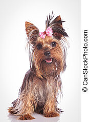 seated yorkie puppy dog looking at the camera