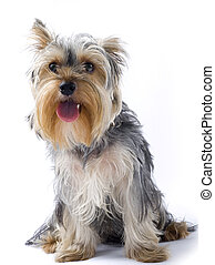 seated yorkshire terrier with mouth open over white background