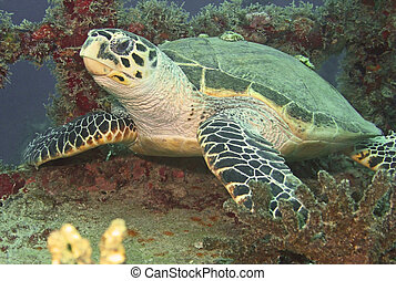 Seaturtle Resting on Shipwreck - A seaturtle resting on a...
