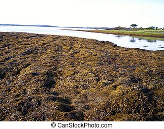 seaweed and rocks - seaweed an rocks seaweed is used in...