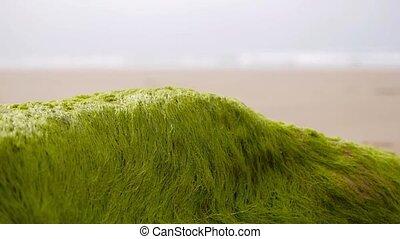 seaweed at low tide