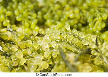 Seaweed - Close-up shot of edible seaweed