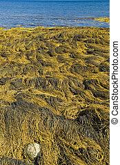Seaweed, Nova Scotia