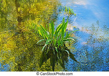 Seaweed - Green algae in the river swamps of sunny spring...