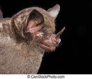 seba's, court-tailed, bat.