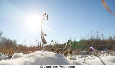 sec, épine, dans, les, neige, hiver, sec, herbe, paysage...