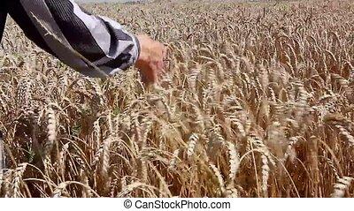 sec, blé, oreilles, caresser, grand-maman