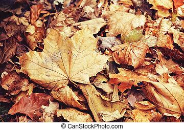 sec, coloré, feuilles, jaune, automne, automne, rouges